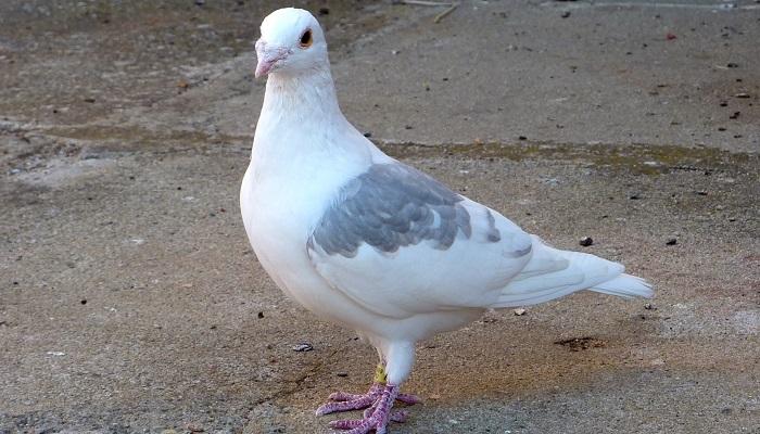 Yarış Güvercini