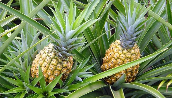 İngiliz Ananası