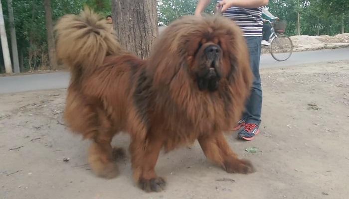 Tibetli Mastif