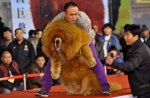 """Açık Artırmayla Satılan Dünyanın En Pahalı Köpeği: """"Tibet Mastifi"""""""