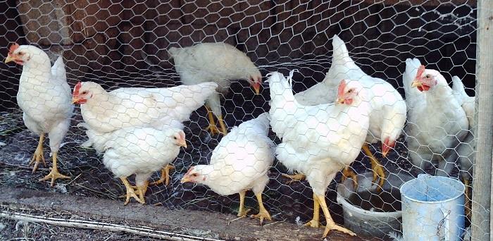Kimler Tavuk ve Hindi Yetiştiriciliği Yaparak Para Kazanabilir?