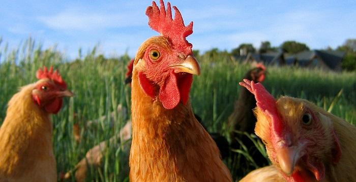 Tavuk Yetiştiriciliği Yaparak Para Kazanmak