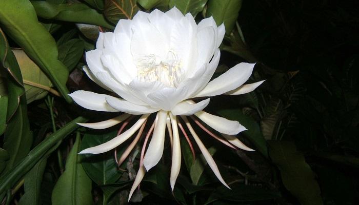Kadupul Çiçeği