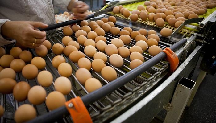 Kimler Yumurta Üretimi Yaparak Para Kazanabilir?