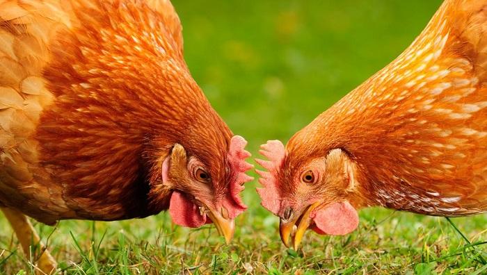 Salma Tavukçuluk (Doğal Yumurta Üretimi) Yaparak Para Kazanmak