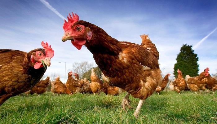 Yumurta Üretimi Yaparak Para Kazanmak için Hangi Yöntemler İzlenir?