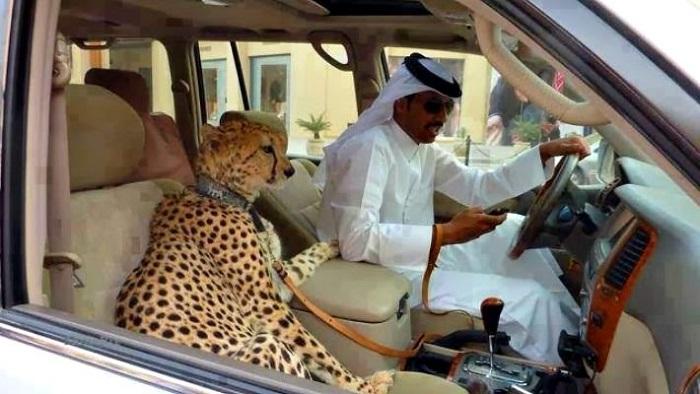 """""""Evcil Hayvan"""" Eşliğinde Araba Kullanırken Mesaj Yazmak"""