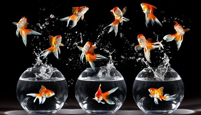 Akvaryum Balığı Yetiştiriciliği Yaparak Para Kazanmak