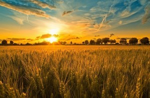 Buğday Ticareti Nasıl Yapılır? Buğdaydan Para Kazanmak için Öneriler
