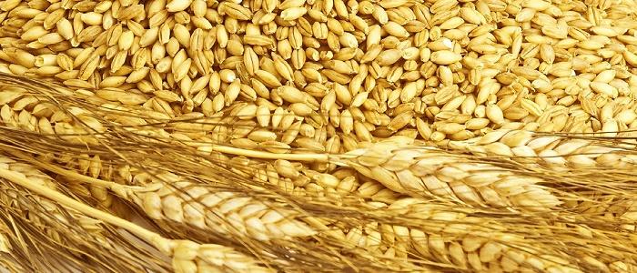 Buğday Yatırımı Yaparak Ne Kadar Para Kazanılır?
