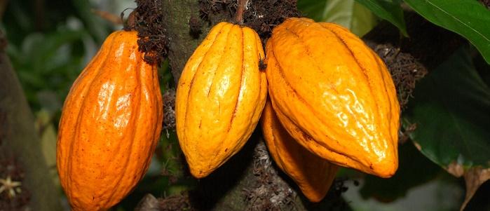 Kakao Ticareti Nasıl Yapılır?