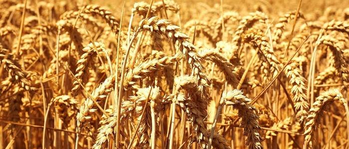 Buğday Yatırımı Yaparak Para Kazanmak