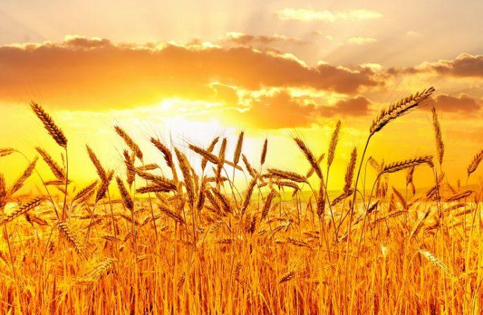 Buğday Yatırımı için Forex Piyasası Mantıklı mı?
