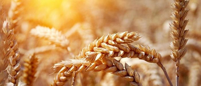 Forex Buğday İşlemlerindeki Riskleri Önleyebilir miyim?