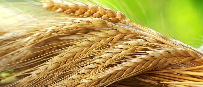 Forex Buğday İşlemlerinin Avantajlarını Kullanabilir miyim?