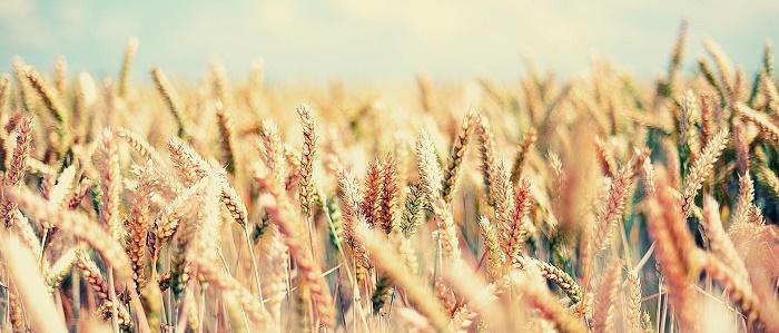 Forexte Buğday Yatırımı Yapmak Mantıklı mı?