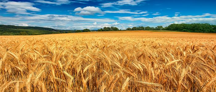 Buğday Yatırımı için Forex Piyasası Mantıklı mıdır?
