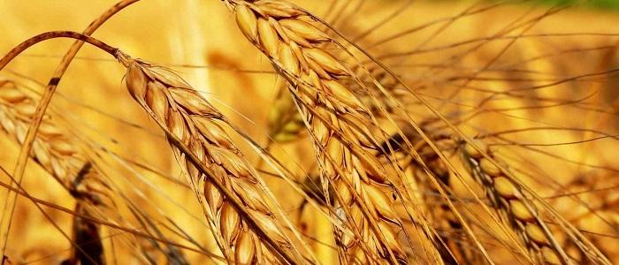 Buğday İşlemleri ile Forex Para Kazandırır mı?