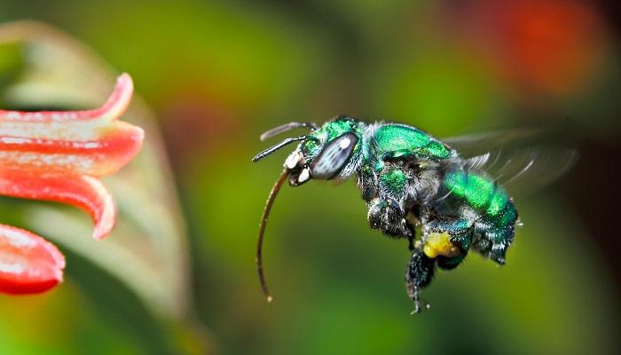 Yeni Keşfedilen Bir Arıya 'Bazinga' İsmi Verildi