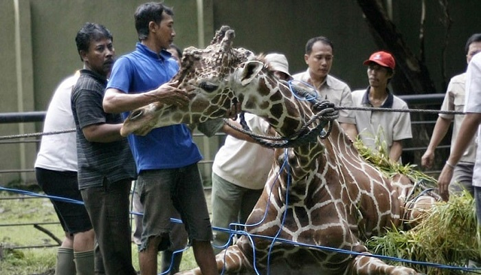 Hayvanat Bahçesindeki Son Zürafa