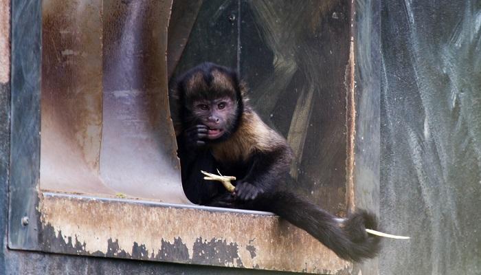 Maymunlar dişlerinin sağlığına oldukça önem verirler.