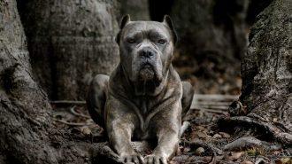 Dünyanın En Tehlikeli 25 Köpek Irkı İçinizdeki Kaçma Hissini Uyandıracak