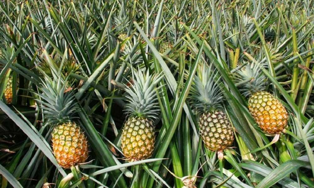 Ananas Nerede Yetişir?
