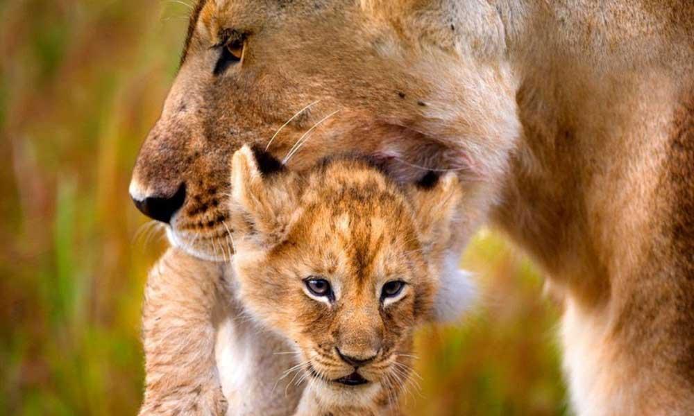 Yavruları Öldüren Erkek Aslanlar!