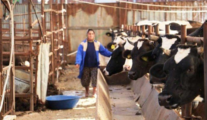 Bileziklerini Bozdurarak Hayvancılık Sektörüne Giren Kadın Girişimci Servet Kazandı!