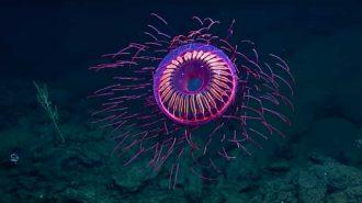 Havai Fişeği Andıran Deniz Anasının Etkileyici Görüntüleri
