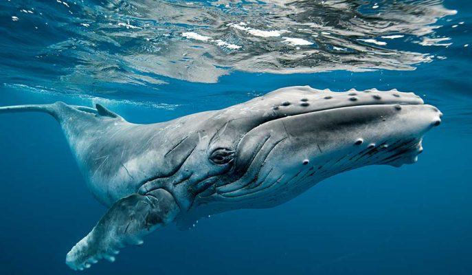 Kambur Balinanın Bir Dalgıcı Köpek Balığından Koruduğu Anlar!