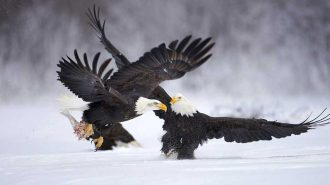 Doğada Bulunan 5 Hayvanın Tüyler Ürperten Avlanma Görüntüleri!