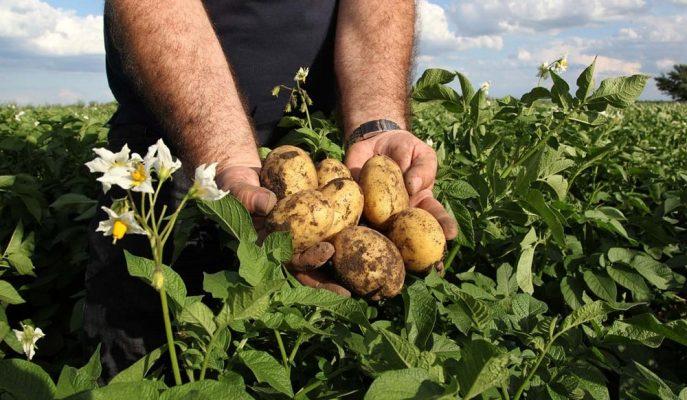 Patates Fiyatları Ekim Alanlarının Azalması ile Tavan Yaptı!