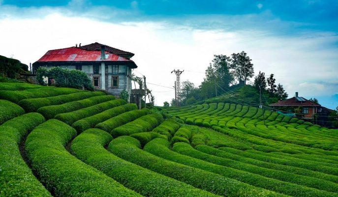 ÇAYKUR Yaş Çay Alım Kampanyasında İkinci Rekora İmza Attı