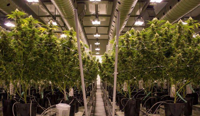 Kanada'nın Esrarı Yasallaştırmasıyla Canopy Growth'un Geliri Yüzde 282 Arttı