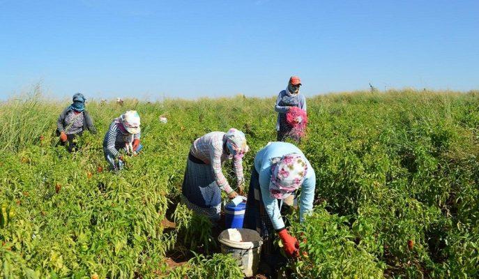 Tarım İşçilerinin Ortalama Günlük Ücreti %12,6 Artışla Enflasyonun Altında Kaldı