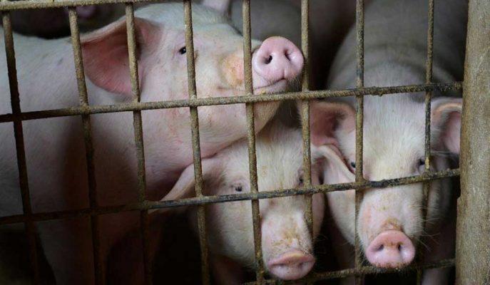Çin'de Yayılan Ölümcül Domuz Ateşi Hastalığı için Aşı Adayları Geliştirildi