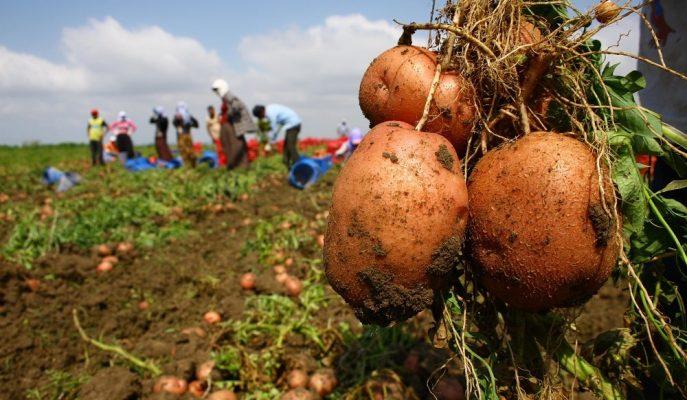Türkiye Patates Üretim Performansıyla Dünyada İlk 10 Arasında Bulunuyor