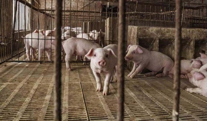 Çin'in Domuz Popülasyonu Salgından Dolayı 2019 Sonuna Kadar Yüzde 50 Küçülecek