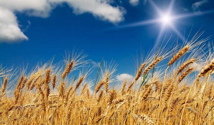 Türkiye'nin Yıllık Buğday Üretimi 21 Milyon Tona Çıkarılmalı