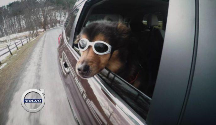 Volvo Evcil Hayvanlarla Yolculuğun Ne Kadar Güvenli Olduğunu Araştırmış!