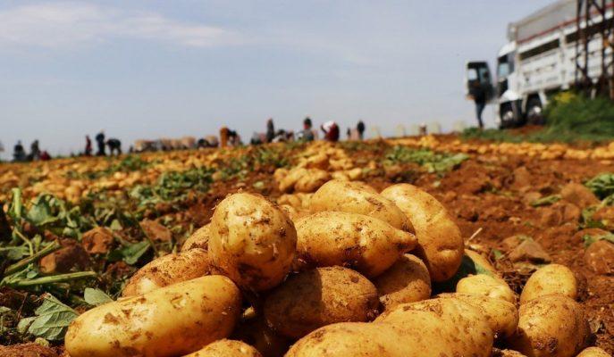 Üretim Fazlalığı ve İhracat Azlığı Patatesin Kilogram Fiyatını 60 Kuruşa Düşürdü!