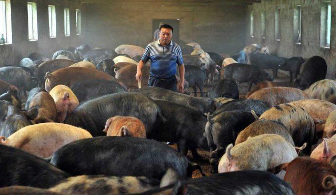 Çin'in Domuz Sürüsü 2019 Sonuna Kadar %55 Daralacak