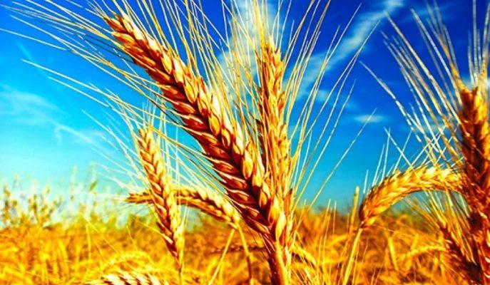 TMO Türkiye'nin Yıllık Buğday Üretim Hedefini 21,5 Milyon Ton Olarak Belirledi