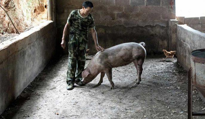 İngiltere'nin Domuz Eti İhracatçılarına Göre Yüksek Çin Talebi Devam Edecek