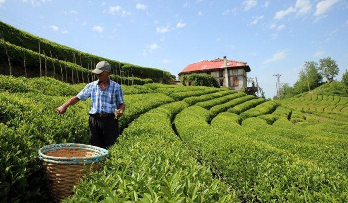 Türk Çayı, Ocak-Kasım İhracatından 13,2 Milyon Doları Aşkın Gelir Getirdi