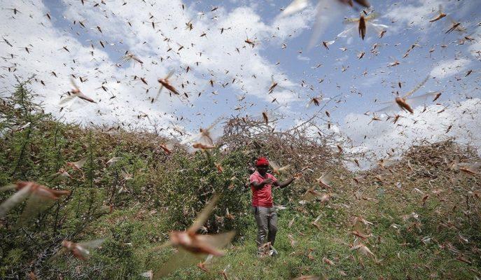 Afrika'daki Çekirge İstilası Geçim Kaynakları için Benzeri Görülmemiş Tehdit Oluşturuyor